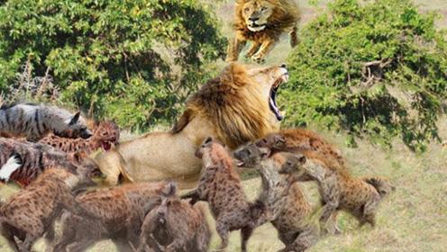 年轻雄狮遭遇鬣狗群掏肛,雄狮气的咬牙切齿,镜头拍下全过程!