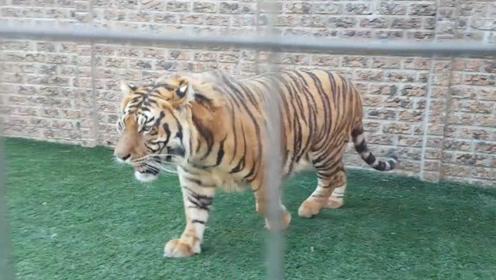 在美国某些州,买老虎比从当地动物收容所收养流浪狗还要容易