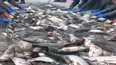 东北漠河大型捕鱼现场,这场面太震撼了,一网鱼十多万斤!