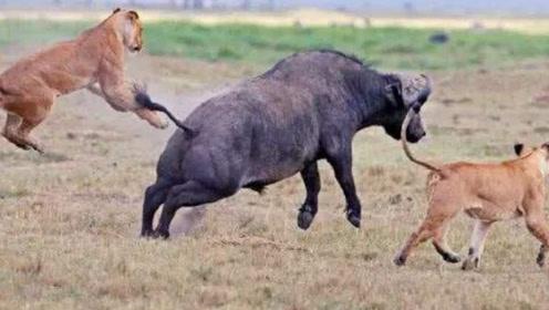 野牛跟生命赛跑,极力逃脱狮子追捕,最终还是难逃一死