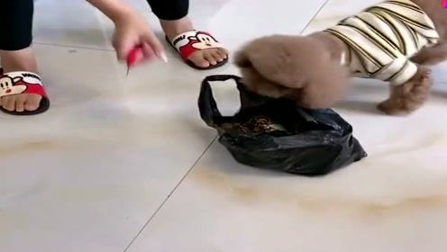 狗狗不让主人杀螃蟹,真是善良的汪星人,网友:真是太喜欢它了!