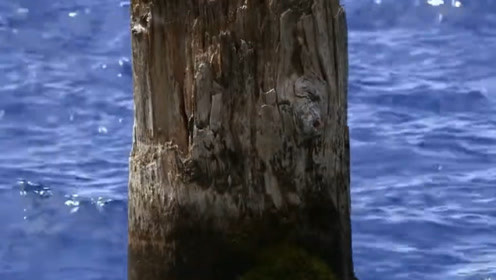 美国湖泊中一枯木垂直漂浮上百年,原因令人不解,如今成了旅游景点!
