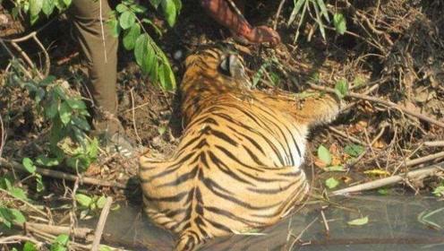 男子发现一老虎在河边喝水,好久都没起来,大胆走近不淡定了