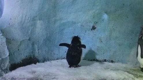 这只企鹅都在这面壁一天了,它到底在思考什么问题,企鹅:我叫豆豆啊!