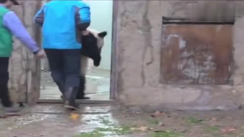 熊猫宝宝:我可是国宝,我不要面子吗?