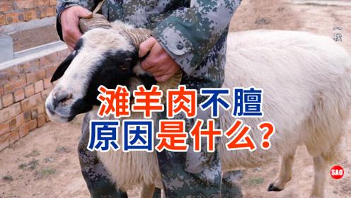 民勤30集:滩羊羊肉不膻的原因是什么?环境还是饲料?
