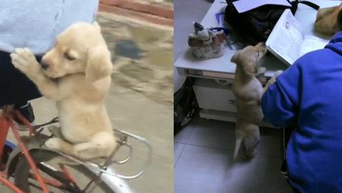 母亲领养小拉布拉多给儿子作伴,没想到小狗变成学习上的拦路虎