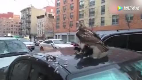 车漆划伤了 实拍老鹰在车顶上捕杀鸽子!