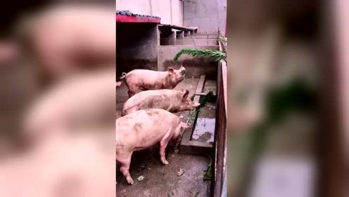 在我家猪是蹦迪老大,我排第二