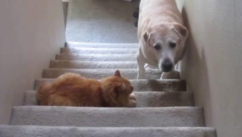 猫咪守在楼梯中间,狗狗想过却又不敢,一双眼睛偷偷瞄向主人!