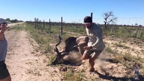 男子解救一只被困的羚羊,获救之后羚羊突然暴起,镜头拍下惊险一幕