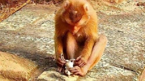 一只老鼠路过被猴子抓住,接下来老鼠崩溃了,老鼠:这是猴做的事吗