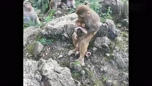 猴界中也有偷孩子的,这动作像极了人类太搞笑了,幸亏妈妈追上了