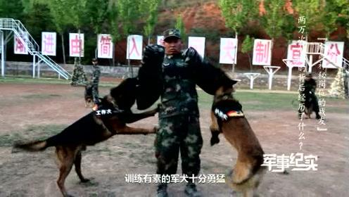 如此凶猛!训导员被4条军犬围攻,背后原因竟是……