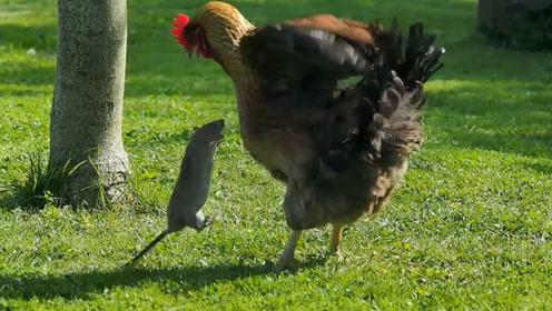 老鼠被母鸡盯上,老鼠竟企图用一招将母鸡制服,镜头记录全过程