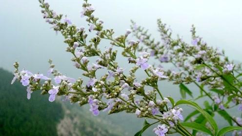 农村野草专治冬季感冒,这种野草煮的汤药,比药店的还管用!