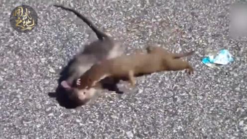 老鼠在马路上打架打疯了!人在边上都不怕!
