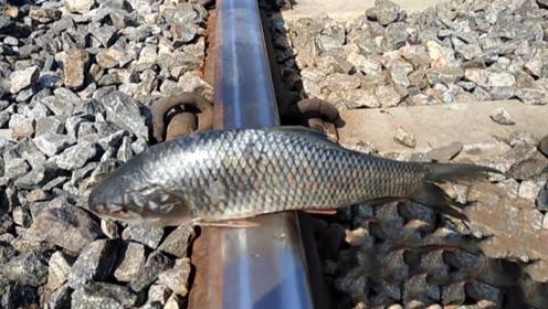国外男子作死实验,将鱼放在火车轨道上,火车开过来会发生什么!