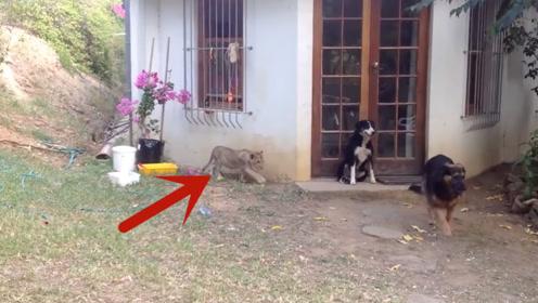 狗狗正在看门护院,一转头发现狮子在自己身边,下一秒憋住别笑