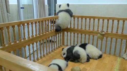"""国宝从小就是个熊孩子,这才多大就想""""越狱""""了?"""