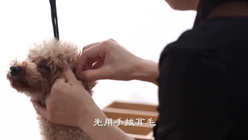 如何给狗狗清洁耳朵