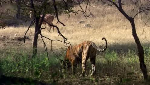 老虎捕鹿过程:潜伏靠近偷袭后一击毙命,充满智慧的暴力美学