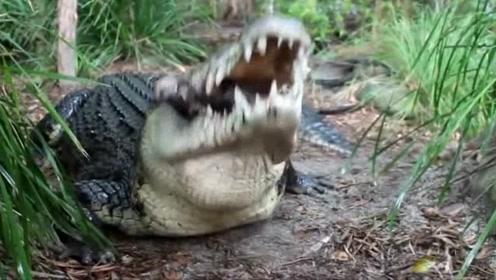 看这架势,鳄鱼有着河流霸主的称号绝非虚名!