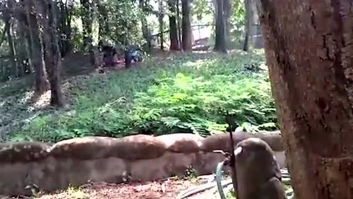 惊险!男子偷偷跑入狮子园 被管理员一把揪出