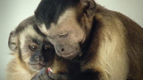 猴子亲历同工不同酬愤怒抗议 这一夸张举动让全场爆笑