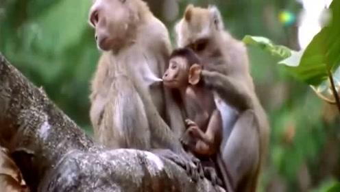 这个地方,母猴可以待一辈子,公猴却最多只能待六年!