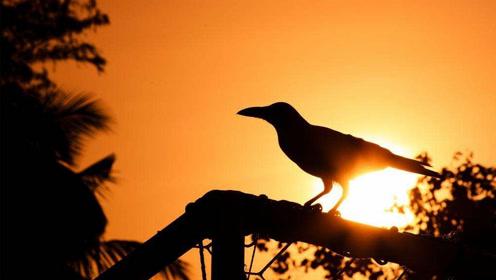 乌是太阳的别称,乌鸦不仅代表孝顺其实还是太阳神鸟?