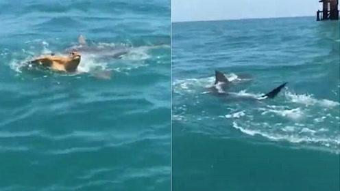 罕见!游客拍到虎鲨猎杀海龟一幕 其他乘客看得目瞪口呆
