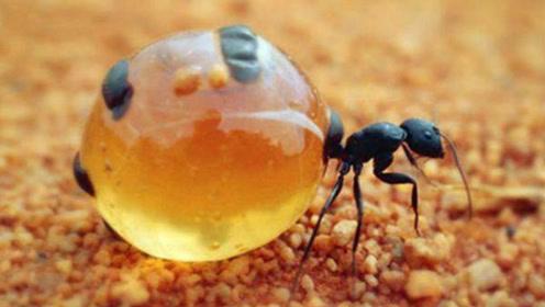 """地球上五种最神奇的""""蚂蚁"""""""