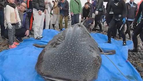 5米长鲨鱼在日本河口附近搁浅迷路后 不幸死亡