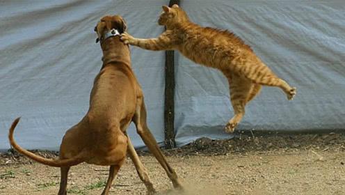 猫狗大战的时候,为什么总是狗子输?