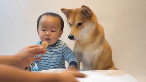 爸爸让宝宝和狗狗抢一个饼干,柴犬的表现很有爱