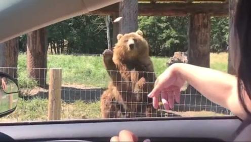 大棕熊徒手接面包,样子真的太帅了,女游客笑得合不拢嘴