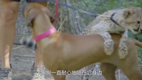 猎豹从小被抛弃,狗狗就一直陪伴保护它,长大后竟是狗狗最硬后台!