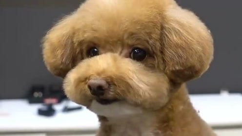 小泰迪今天去理发,剪到最后变成了个傻狗,原谅我不厚道的笑了!