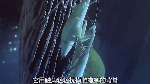 昆虫的求爱,步步艰辛,因为随时可能会丧命