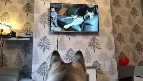 哈士奇看到电视里播放自己的视频,接下来二哈的反应让宝宝乐坏了