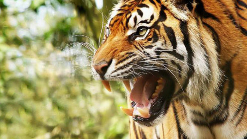 史上最惨绝人寰的凶残老虎!竟吃掉400多人