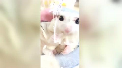 好漂亮的小飞鼠,皇上可以把它娶回家了