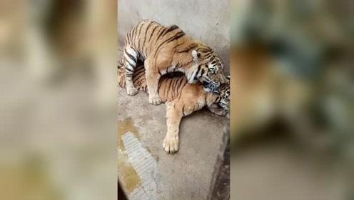 本以为老虎是在恋爱,没想到是打架啊!