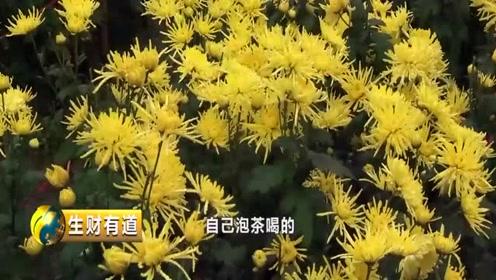 东至县有着种植菊花的悠久历史,取名黄菊