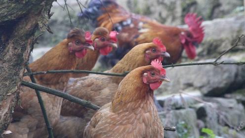 小伙穷游到深山,路过一村庄,望着一群鸡流口水