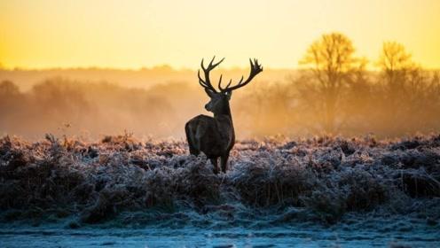 麋鹿在雪中蹦跶,一不小心鹿角蹦掉了