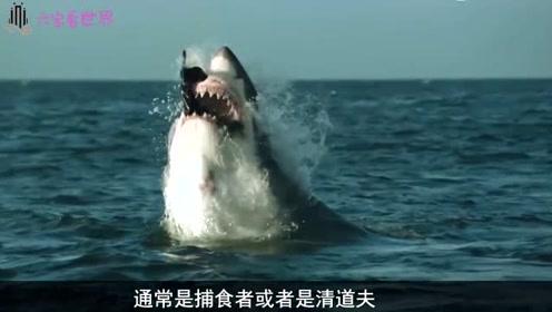 鲨鱼最多的地方,700条鲨鱼如同一面墙,真的是难得一见