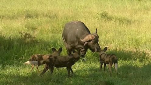 野狗们围着一头水牛,水牛向前走来,野狗们吓得立刻逃跑!