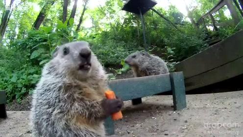 土拨鼠宝宝不就是吃个胡萝卜吗 至于这么得瑟吗
